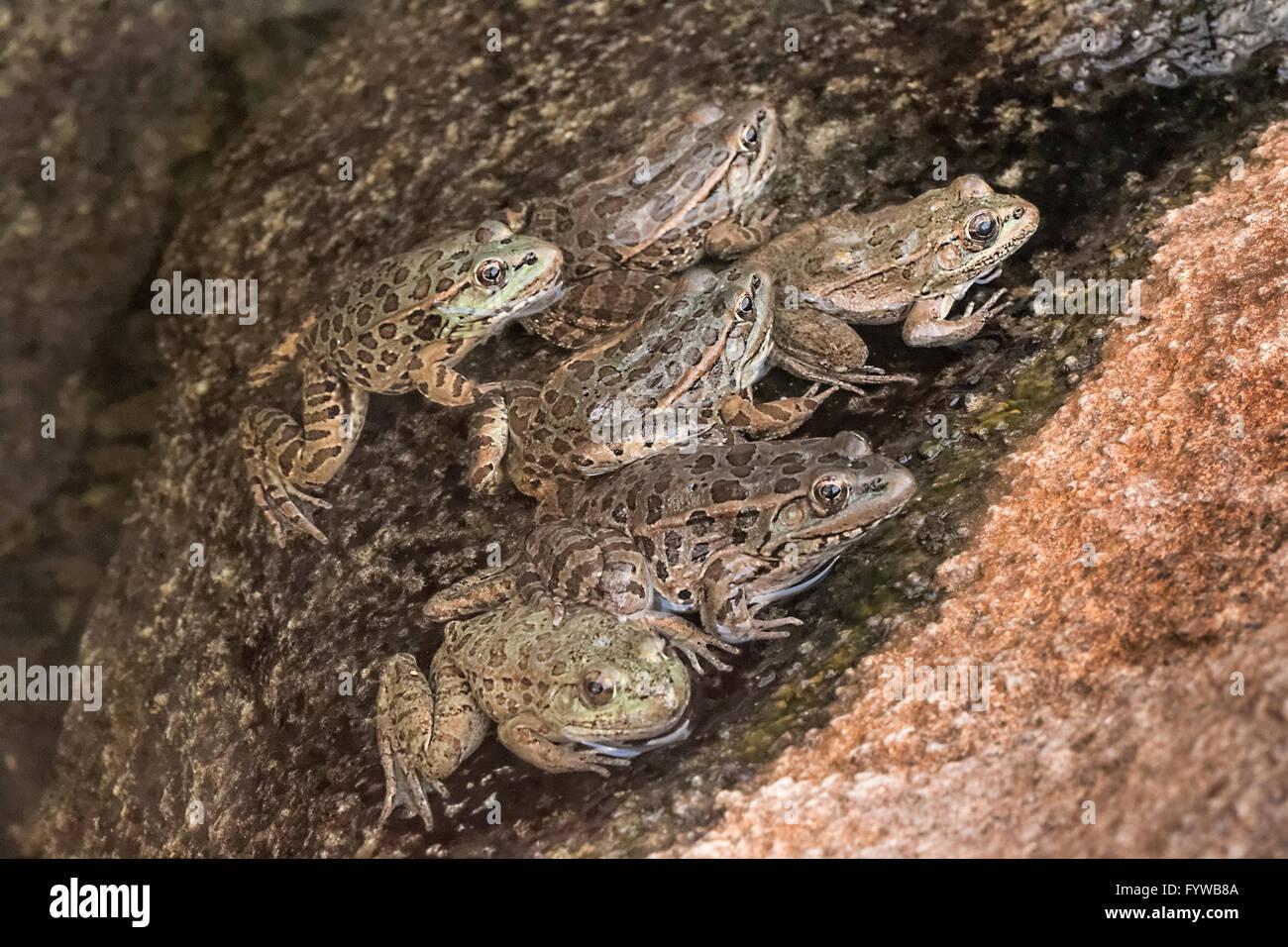 Las tierras bajas, la rana leopardo (Rana yavapaiensis) hombres se reúnen en piscinas de cría en días soleados Foto de stock