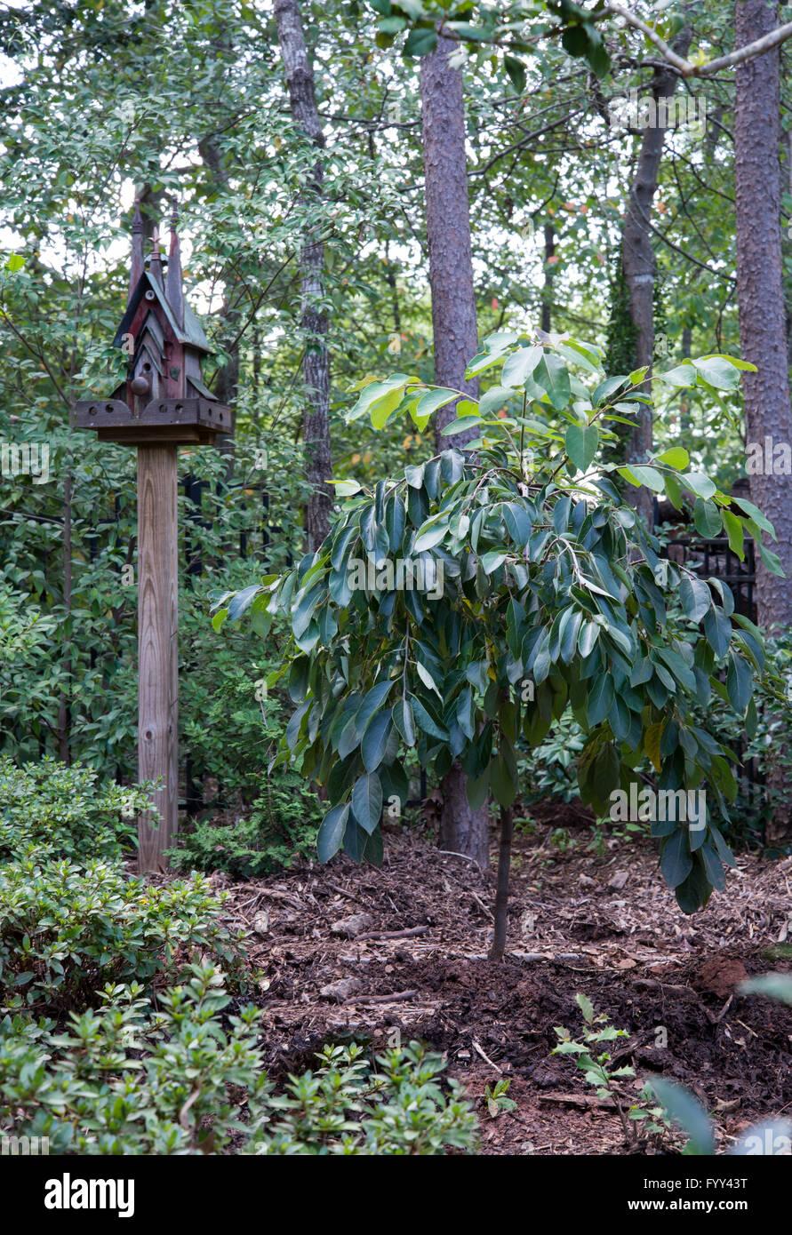 Diospyros virginiana, Fuente Mágica,llorando, árbol de caqui Imagen De Stock