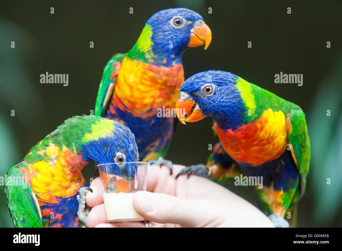 Rainbow Lorikeet Parrot Foto de stock