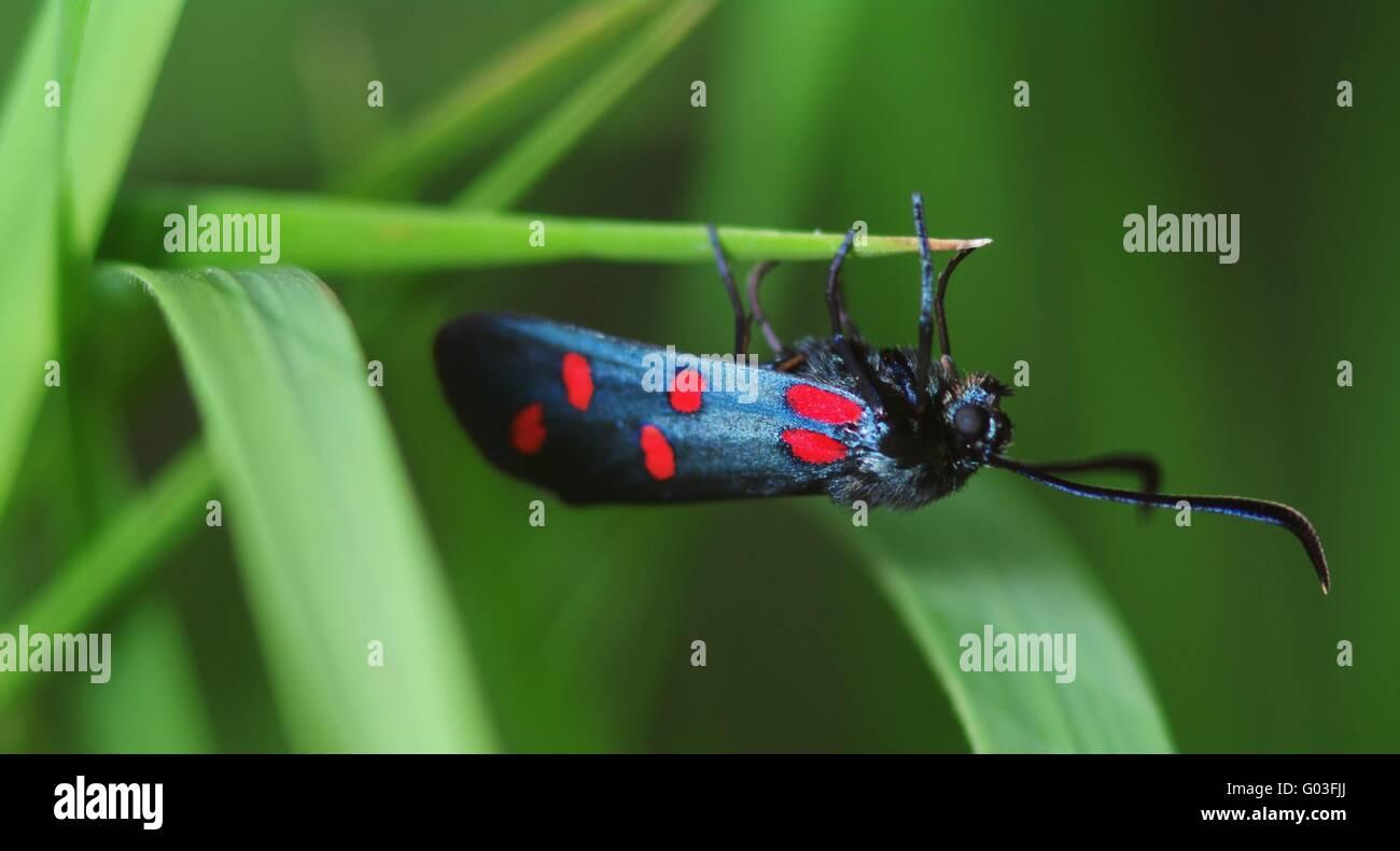 6-spot Burnett (Zygaena filipendulae) Foto de stock