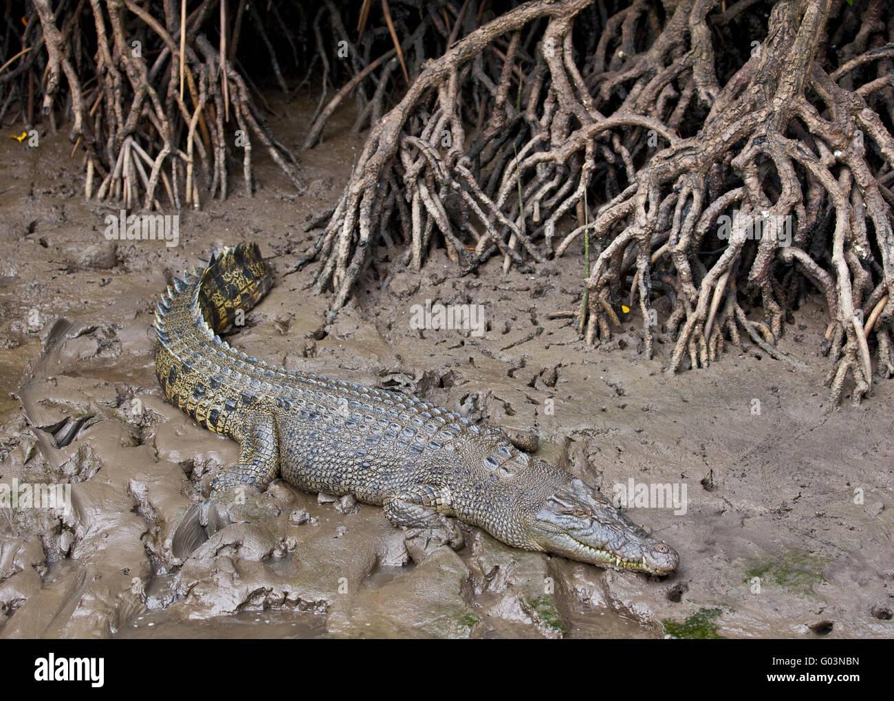 El cocodrilo de agua salada, Australia Foto de stock