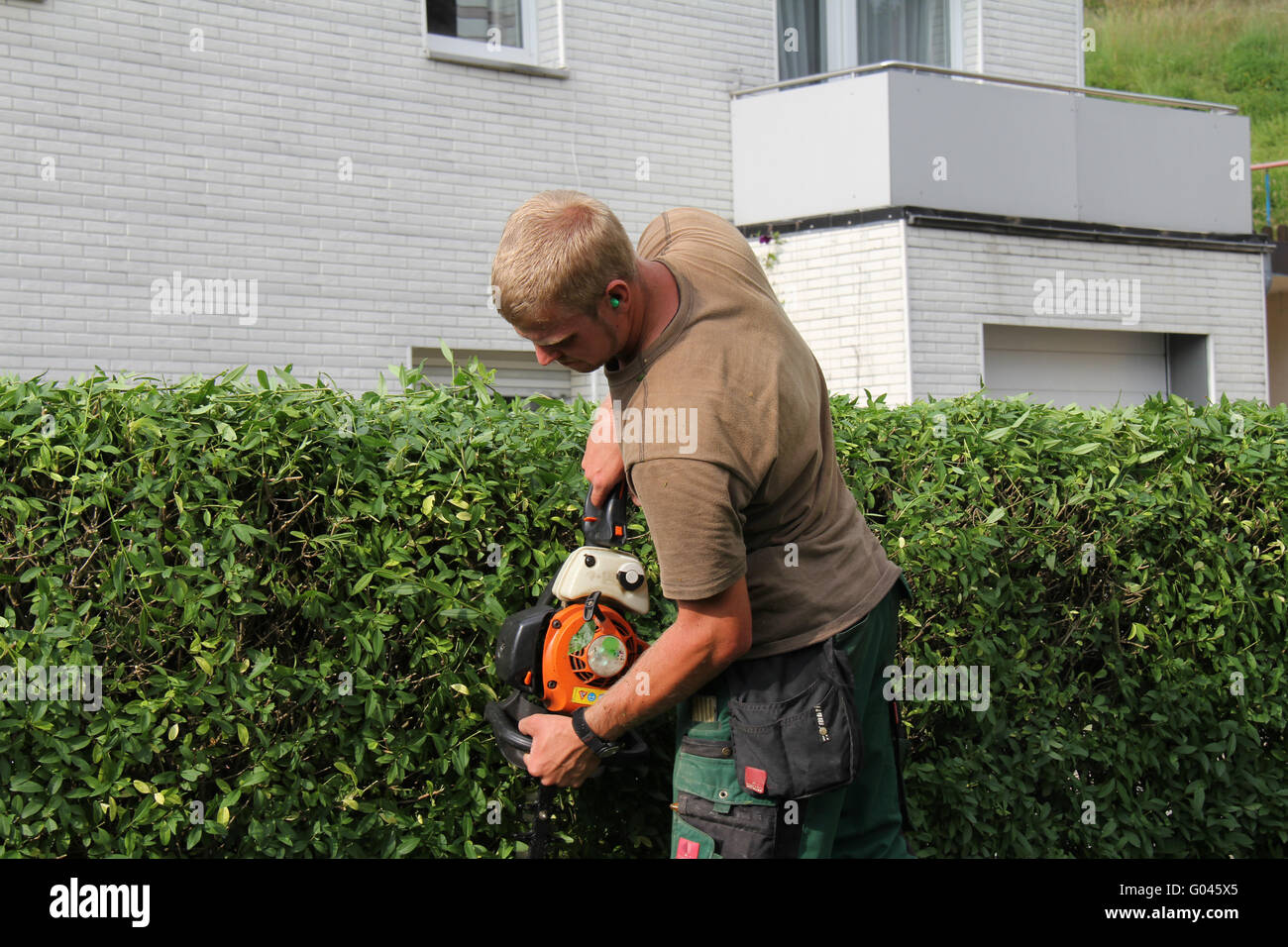 Privet hedge hedge, recortes de prensa Foto de stock