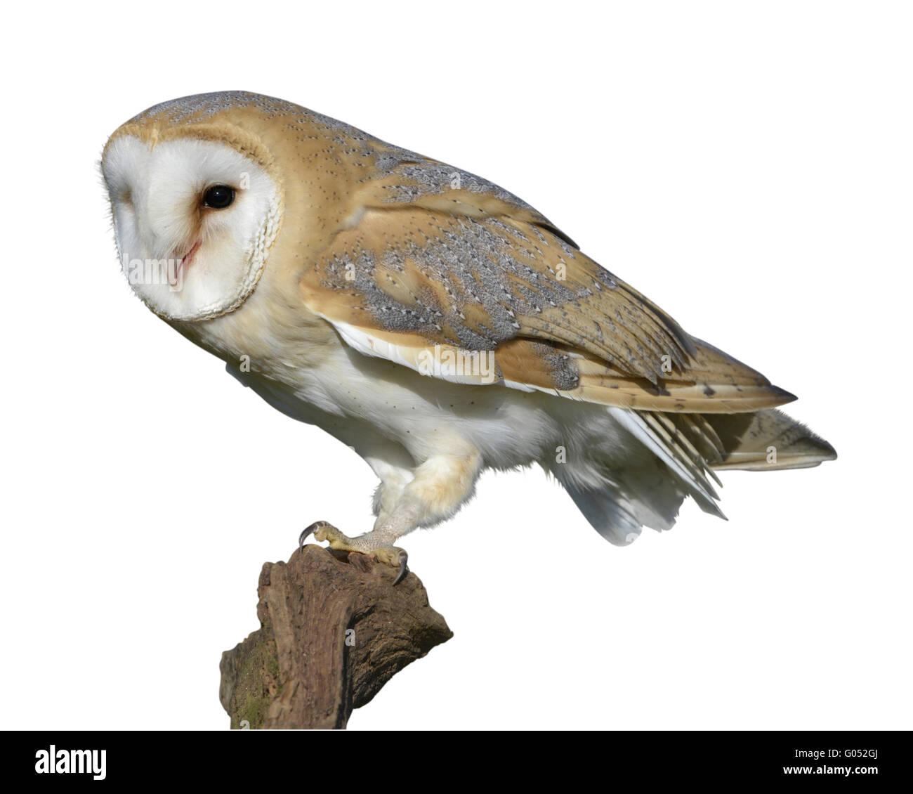 Lechuza - Tyto alba Imagen De Stock