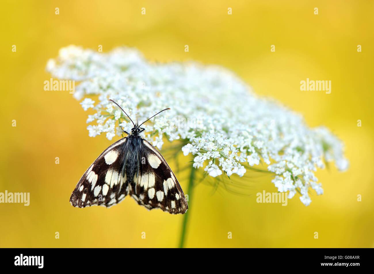 En mármol blanco yarrow Foto de stock