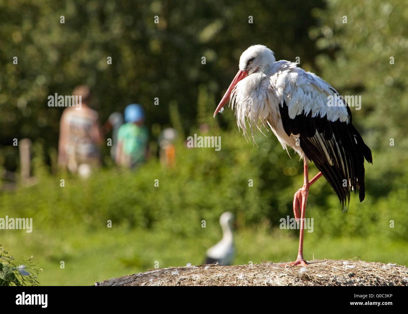 La Cigüeña Blanca, la naturaleza zoo Rheine, Alemania Imagen De Stock