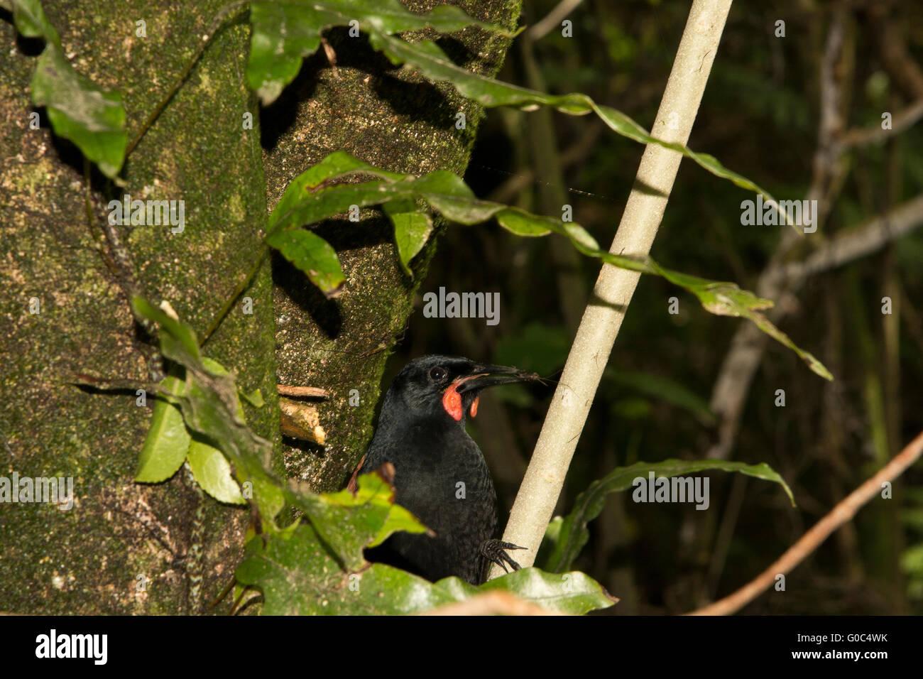 La Isla Norte es un wattlebird saddleback en el grupo de aves paseriformes y es endémico de Nueva Zelanda. Foto de stock