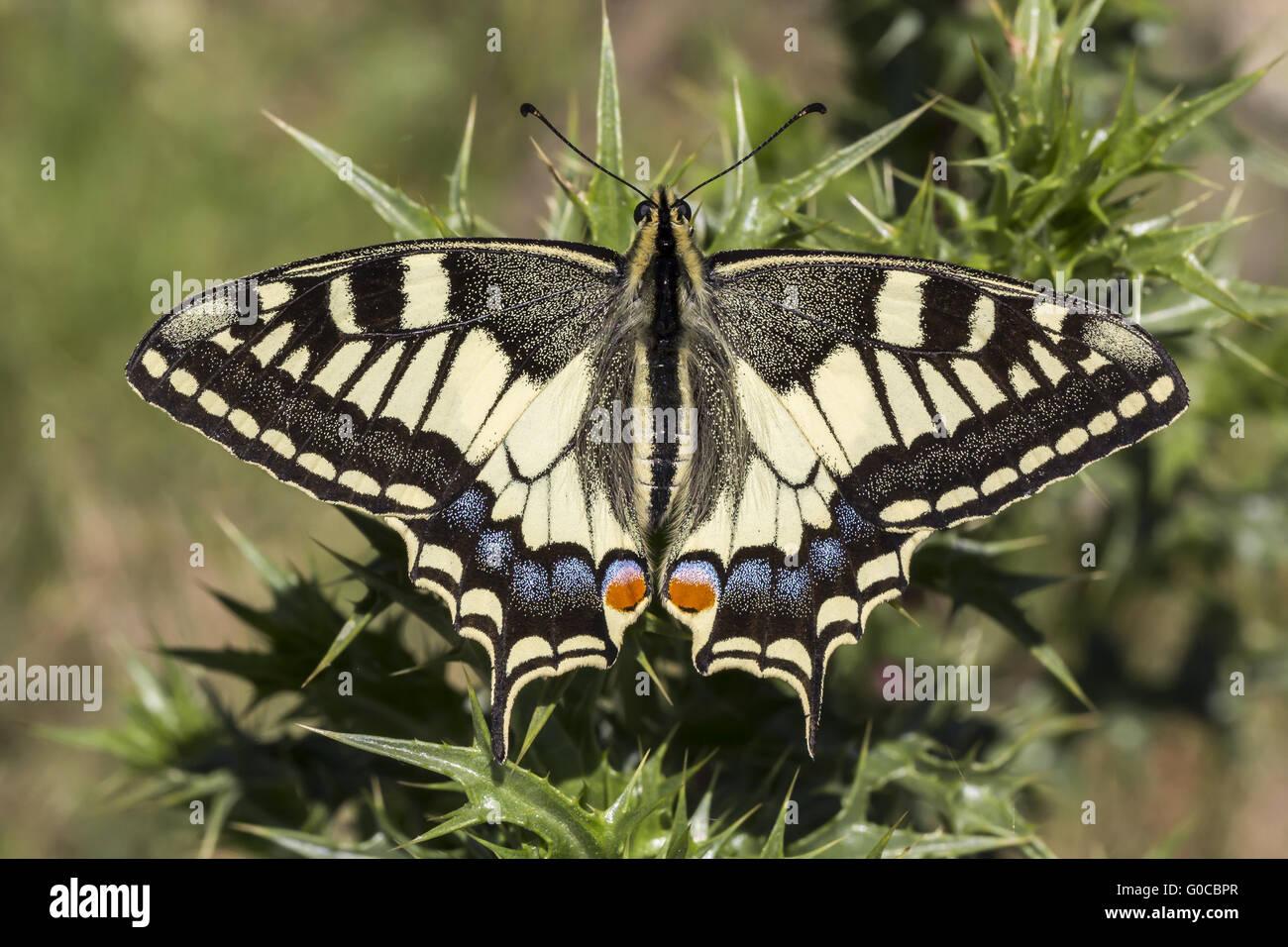 Papilio machaon, especie de mariposa de Europa Foto de stock