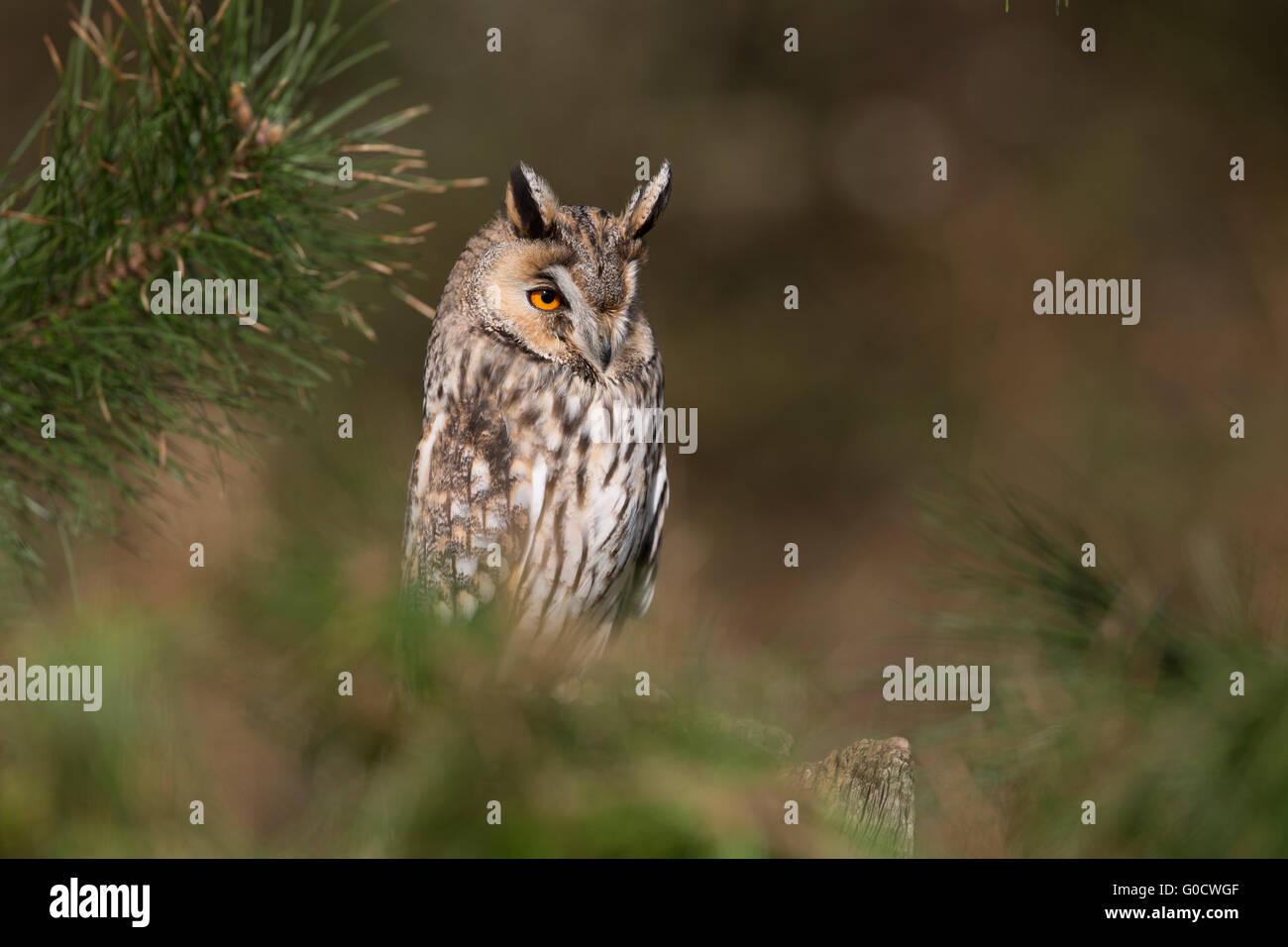 Búho de orejas largas; asio otus solo en Pino Cornwall; UK Imagen De Stock
