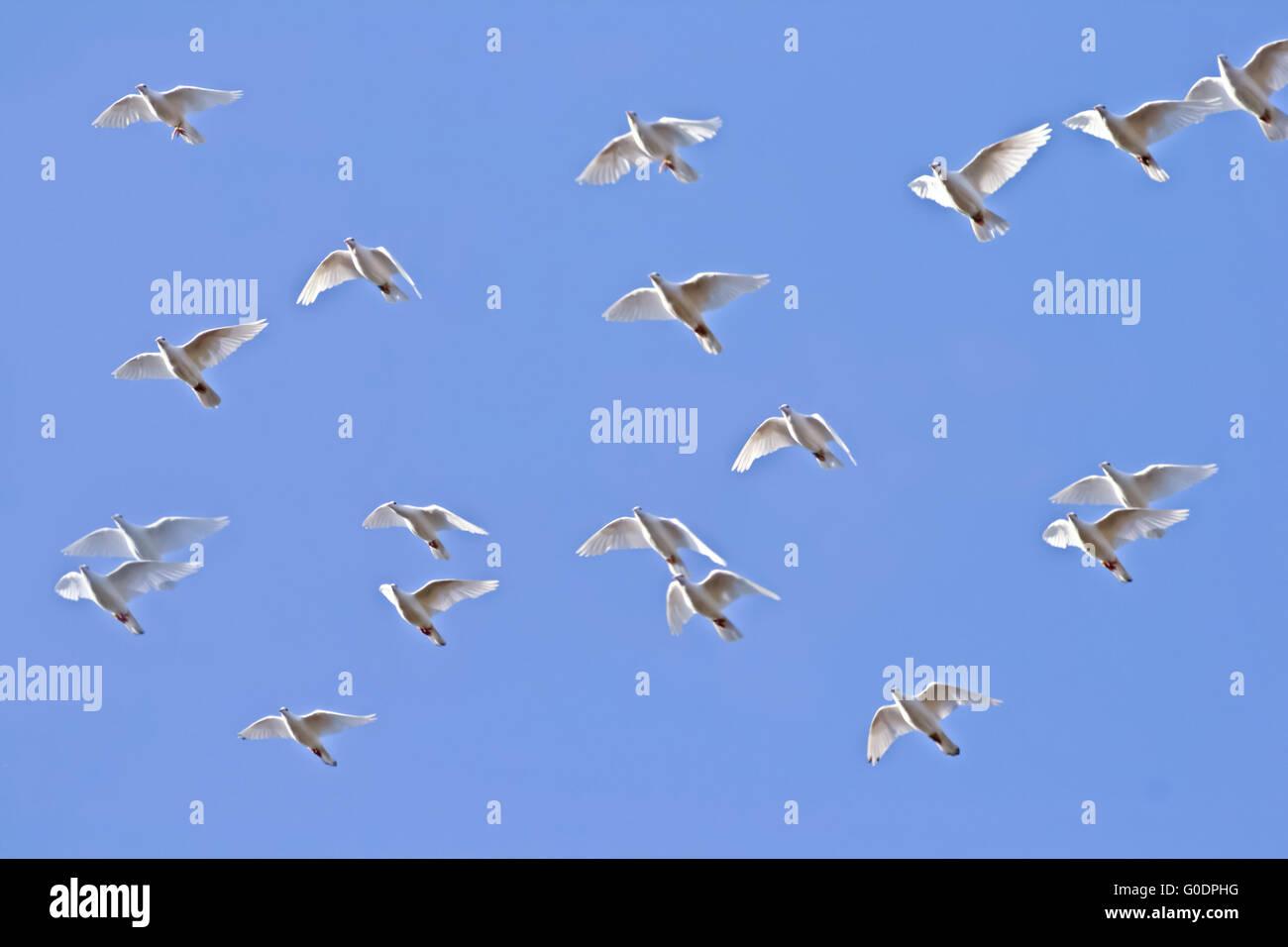 Palomas Blancas Volando Foto Imagen De Stock 103565324 Alamy