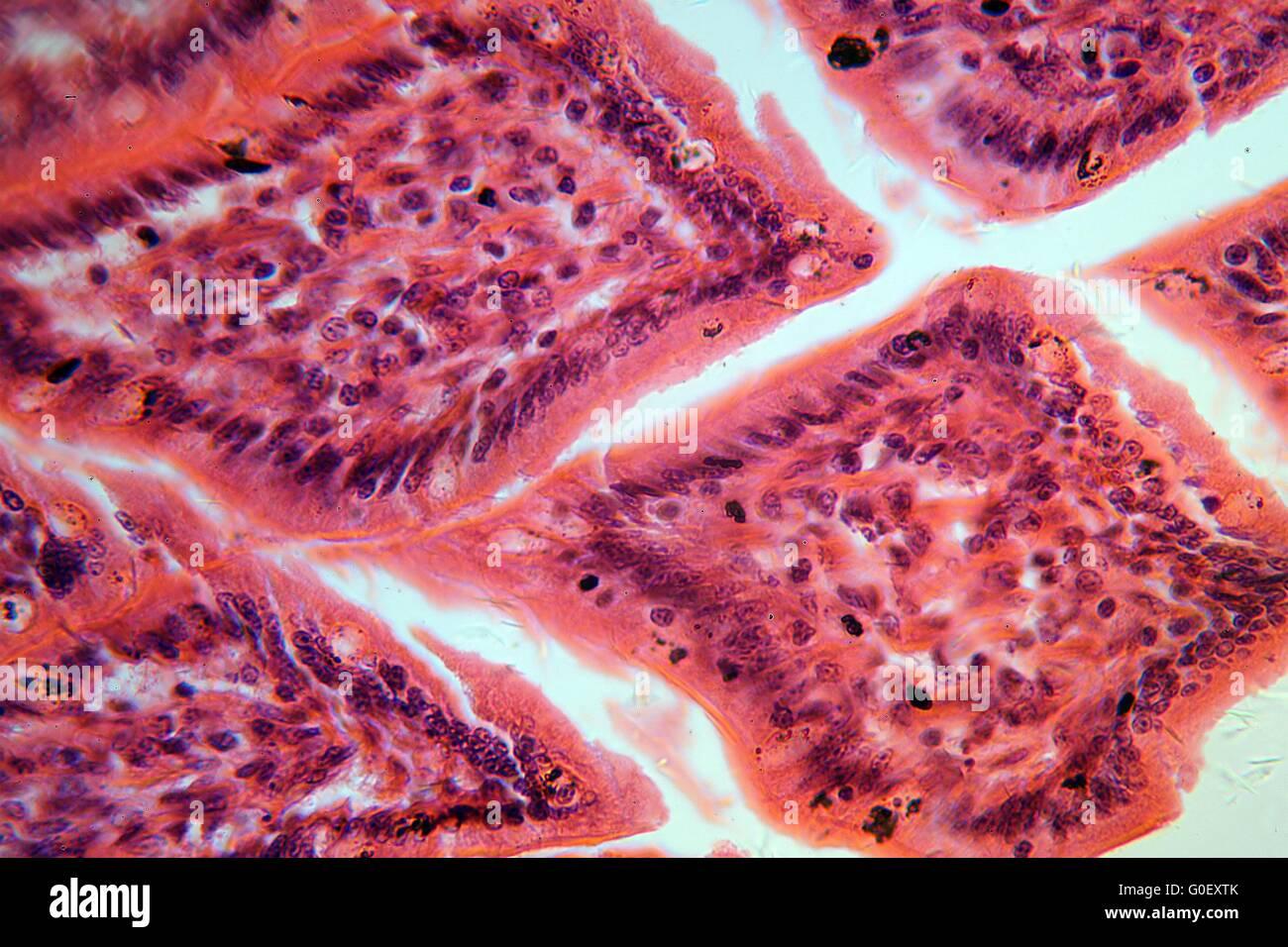 Una sección a través de las células del intestino delgado bajo el microscopio. Foto de stock