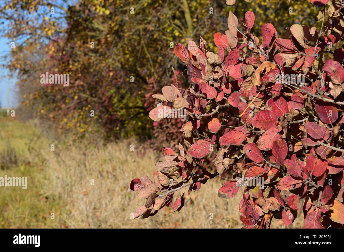 Colores del Otoño hojas de cotinus coggygria crece en un cinturón de bosques. Foto de stock