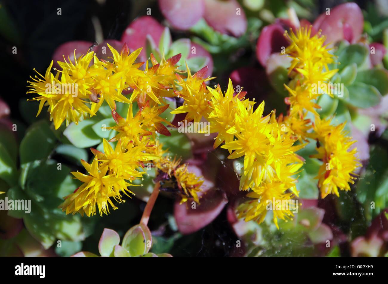 Flores Amarillas De Plantas Suculentas Foto Imagen De Stock