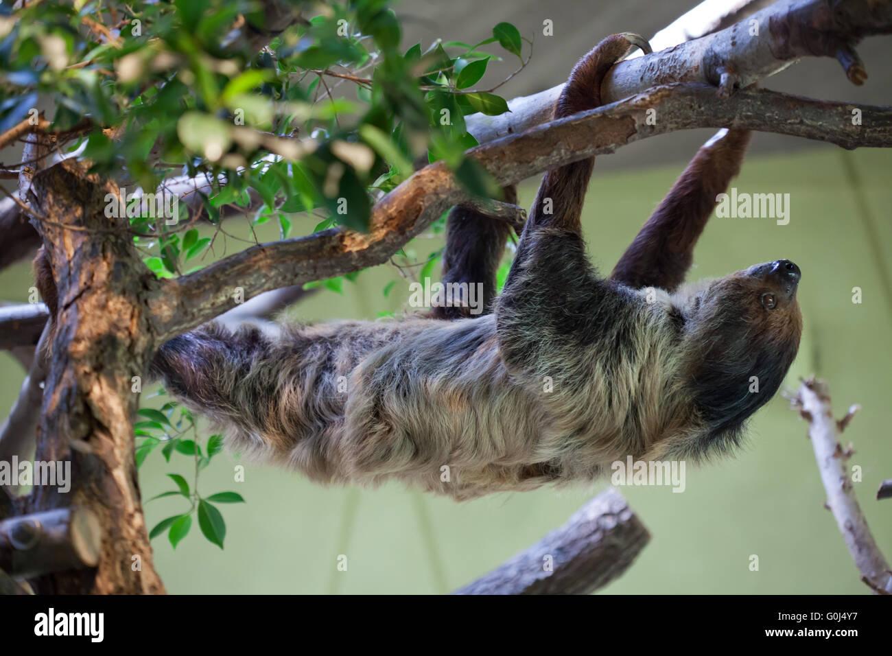 Linneo dos dedos cada sloth (Choloepus didactylus), también conocido como el sur de dos dedos cada perezoso en el Zoológico de Dresde, Sajonia, Alemania. Foto de stock