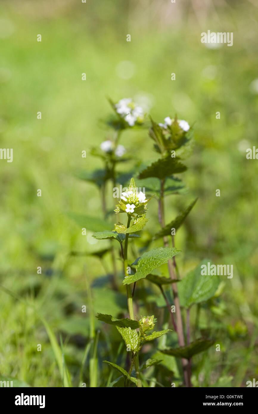 Alliaria petiolata. Mostaza ajo flores en primavera. Foto de stock