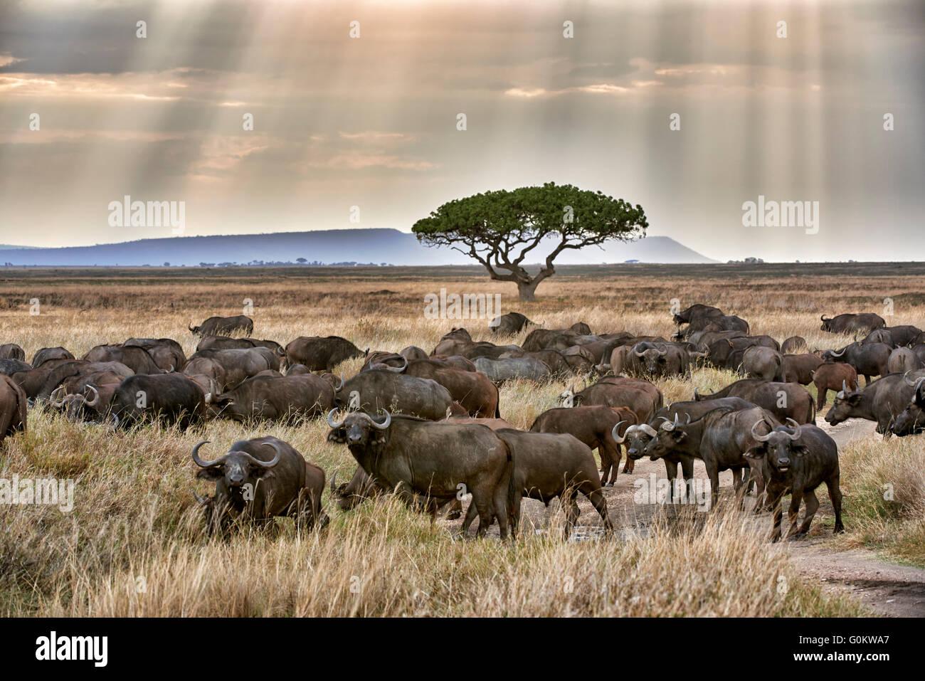 La manada de búfalos africanos (Syncerus caffer) al atardecer en el Parque nacional Serengeti, sitio del patrimonio Imagen De Stock