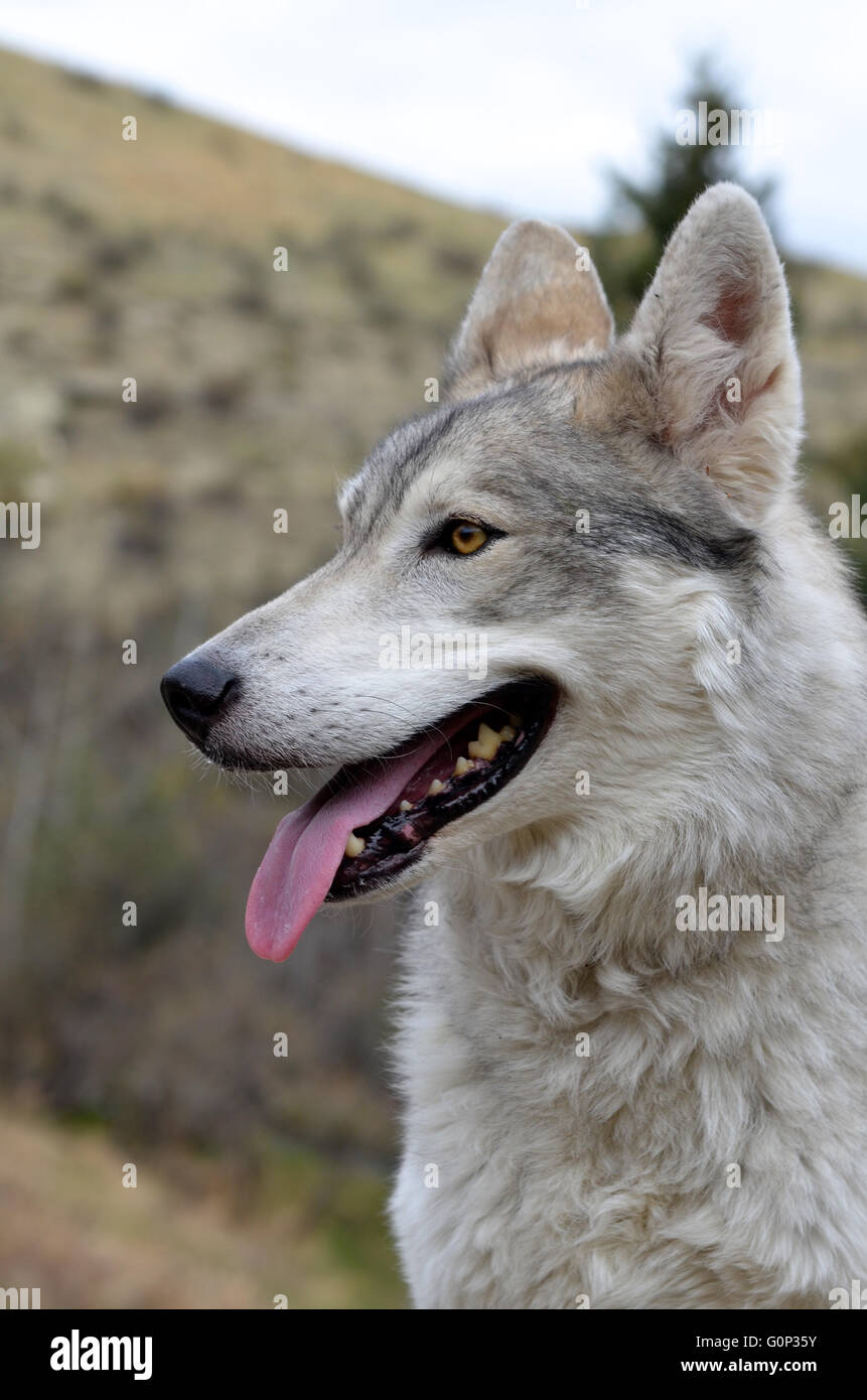 Lobo salvaje en Canadá Imagen De Stock