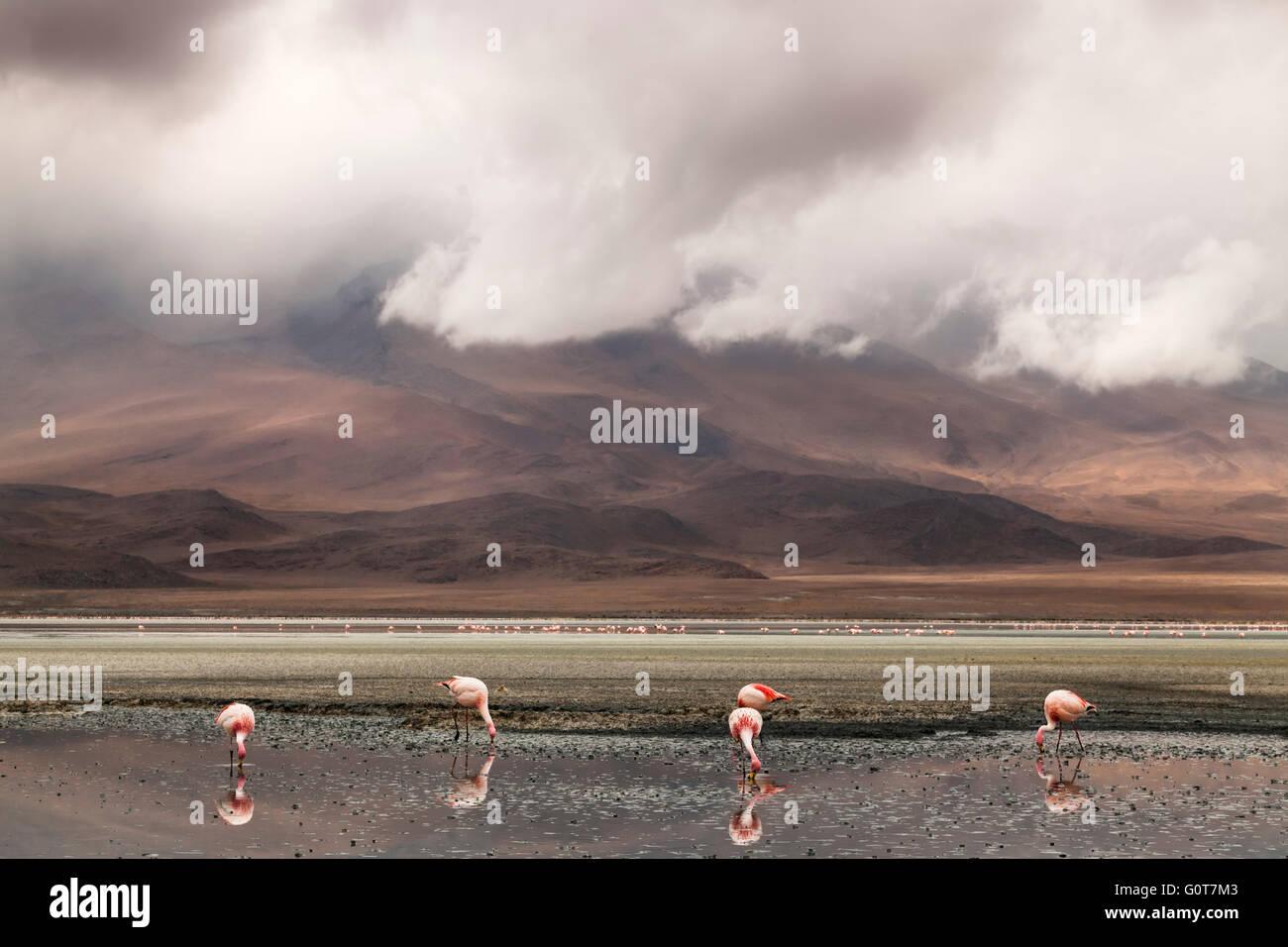 Flamencos alimentándose en un lago en el Salar de Uyuni, llanuras de sal, Bolivia, América del Sur Imagen De Stock