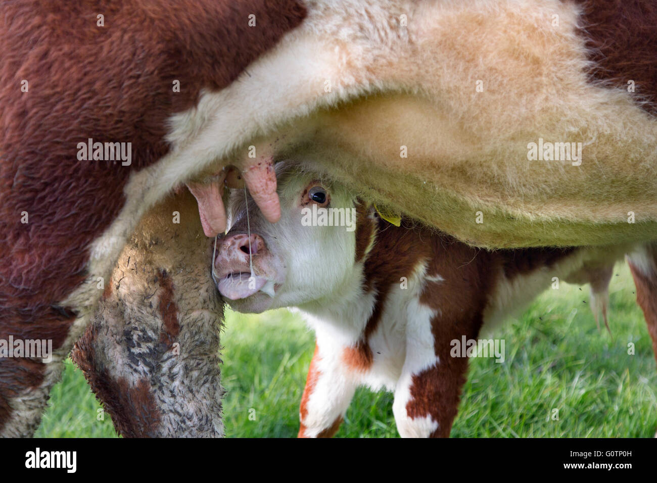Terneros Hereford cochinillo de leche de vaca Foto de stock