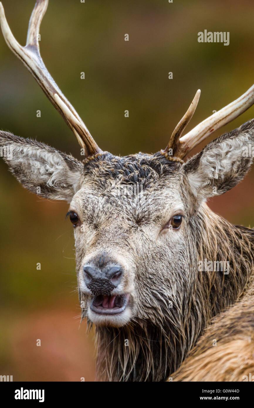 Macho adulto de ciervo rojo Cervus elaphus cerca de la cabeza Imagen De Stock