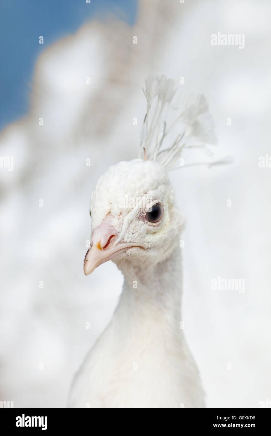 Primer plano de una cabeza de un pavo real blanco al aire libre Imagen De Stock