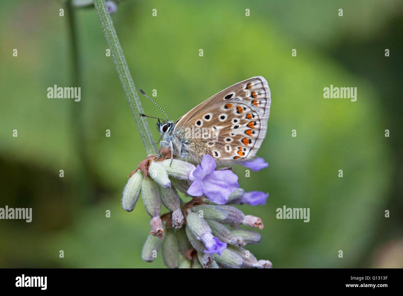Mariposa Azul común Polyommatus icarus solo adulto alimentándose de flores de lavanda Essex, Reino Unido Imagen De Stock