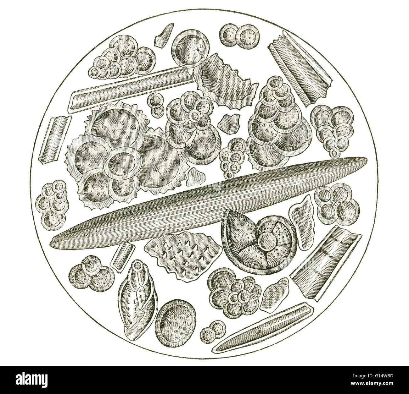Foraminíferos y otros zoophytes, magnificada, desde la tiza a Gravesend, un depósito del Período Cretácico en Inglaterra. Foto de stock