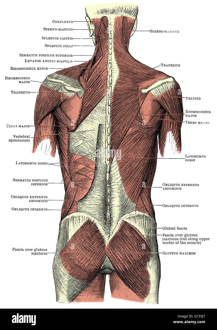 Labeled Illustration Muscles Human Back Imágenes De Stock & Labeled ...
