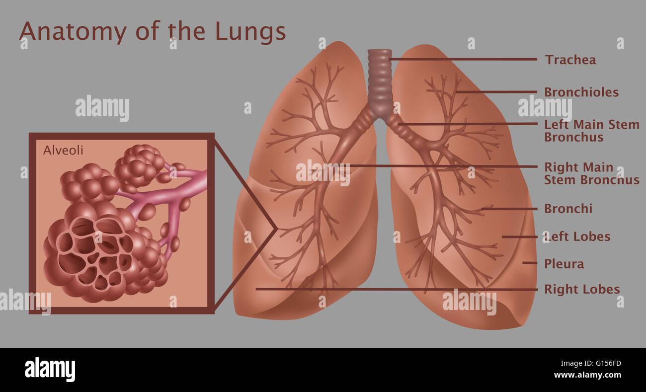 Bronchus Imágenes De Stock & Bronchus Fotos De Stock - Página 5 - Alamy