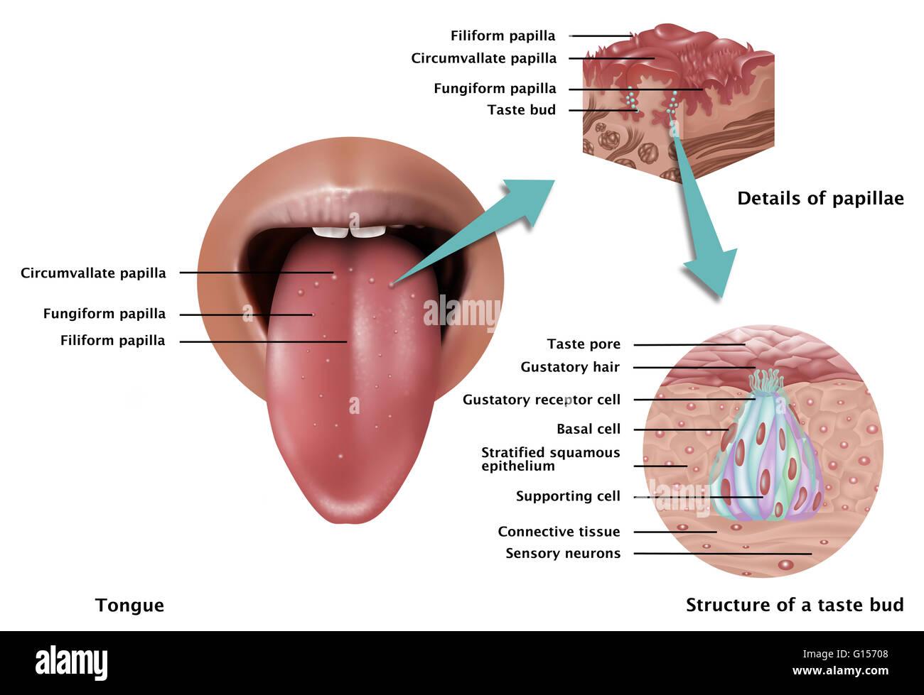 Ilustración mostrando la anatomía del gusto. A la izquierda se ve ...