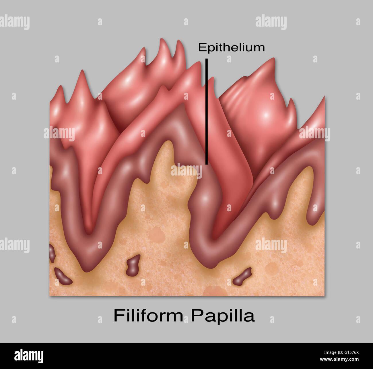 Ilustración de papilas filiformes, uno de los cuatro las papilas ...