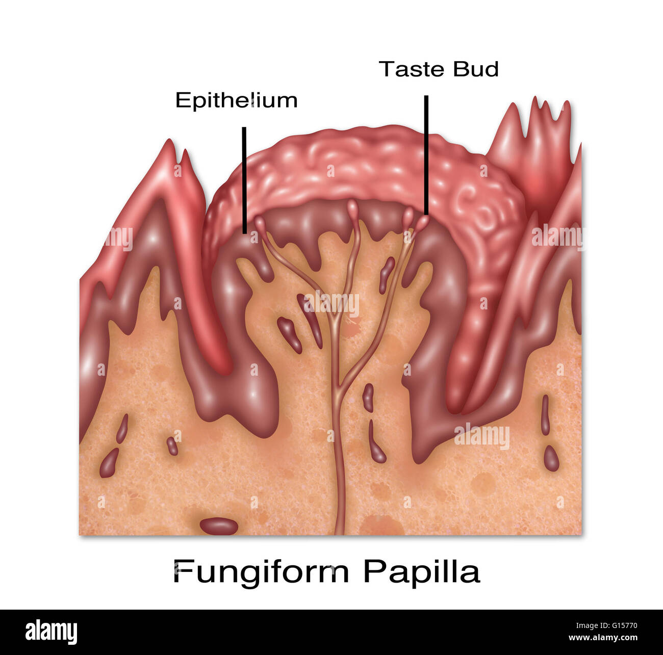 Ilustración de fungiform papila, uno de los cuatro las papilas ...
