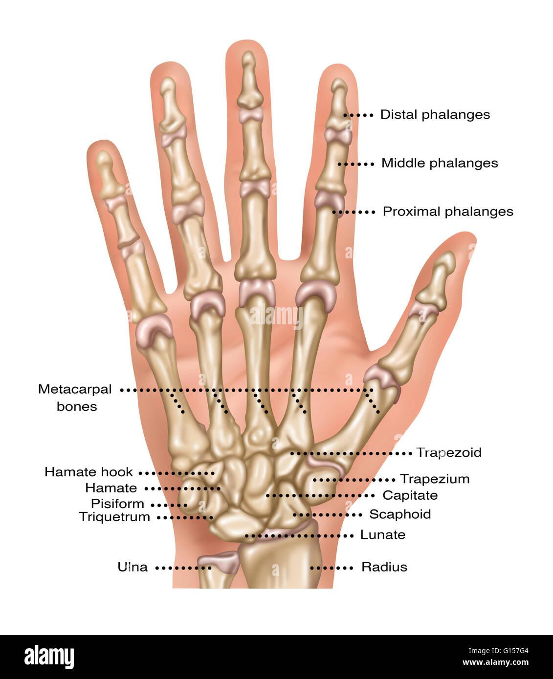 Ilustración que muestra los huesos de la mano y la muñeca. Que ...