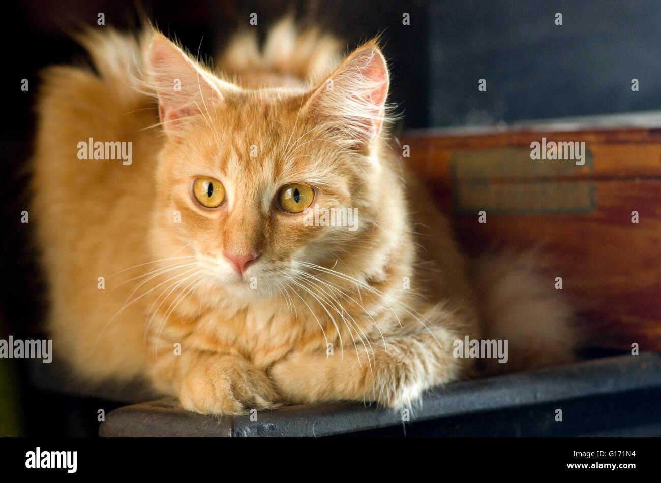Gato atigrado rojo en pose contemplativa con patas delanteras doblado hacia adentro, largo/medio/largo cabello largo Imagen De Stock