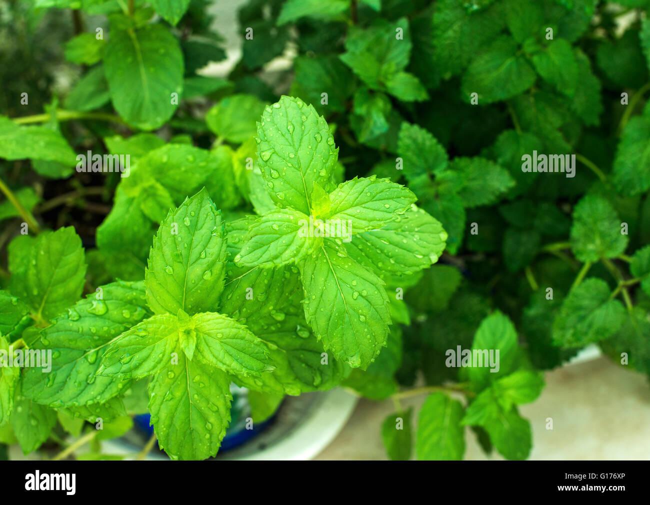 Acercamiento de las hojas de la planta de menta fresca con gotas de agua que crece en el balcón, el enfoque Imagen De Stock