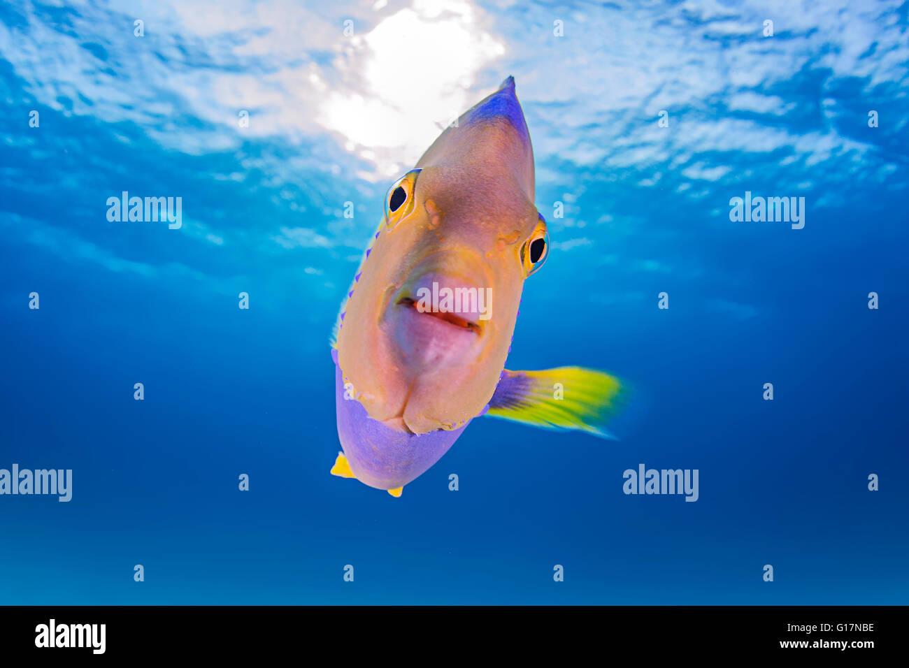 Cerca de juveniles de pez ángel reina Imagen De Stock