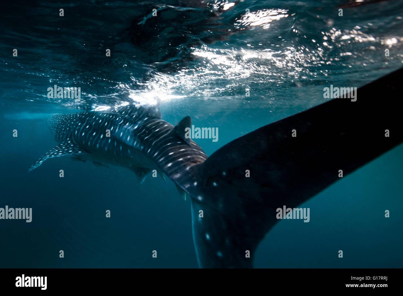 Tiburón ballena (Rhincodon typus) nadando en las aguas profundas frente a la isla de Malapascua, Cebu, Filipinas Imagen De Stock
