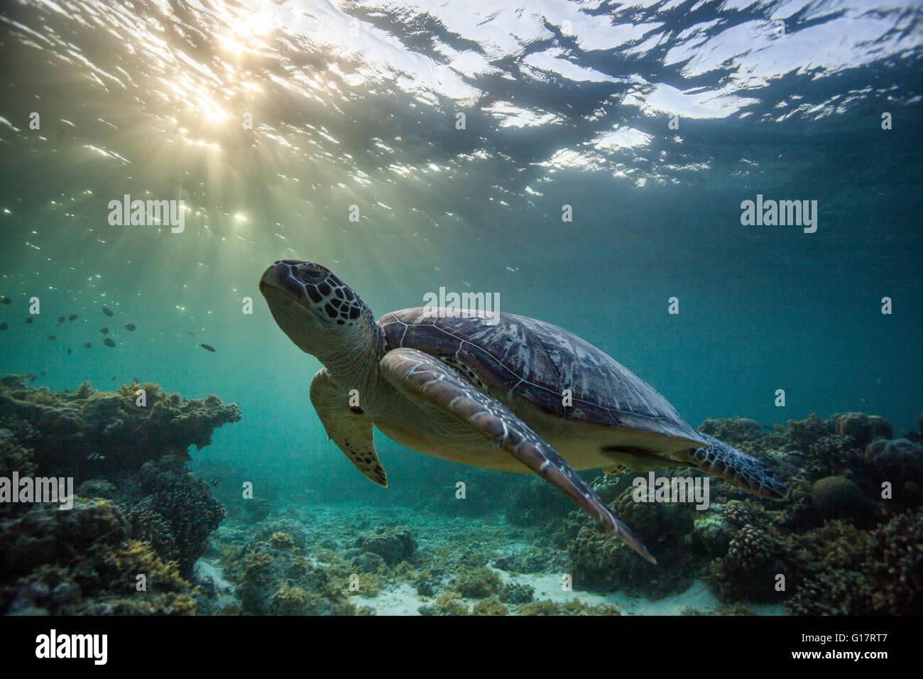 Rara tortuga verde (Chelonia mydas), nadar en el océano abierto, Cebu, Filipinas Imagen De Stock
