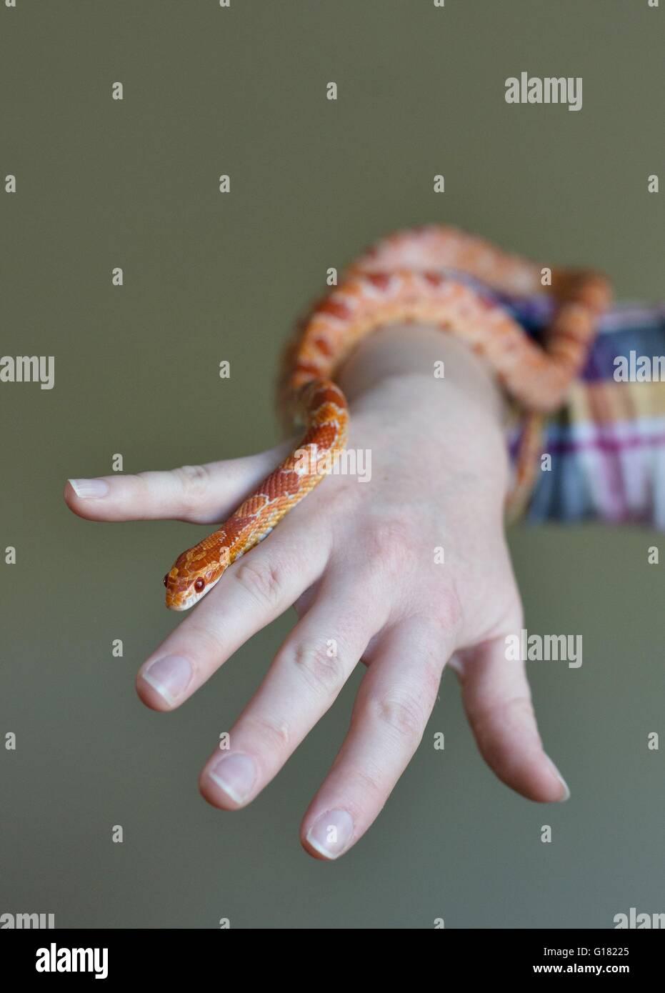 Una persona con una serpiente de maíz. Imagen De Stock