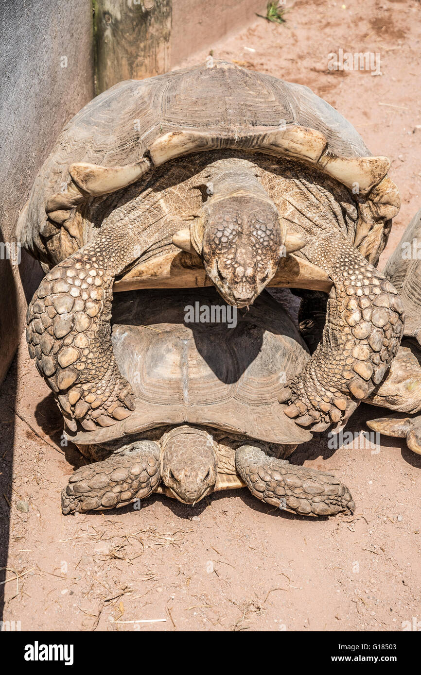 Dos tortugas apareamiento,Blackpool Zoo,lancashire,Inglaterra,Reino Unido Imagen De Stock