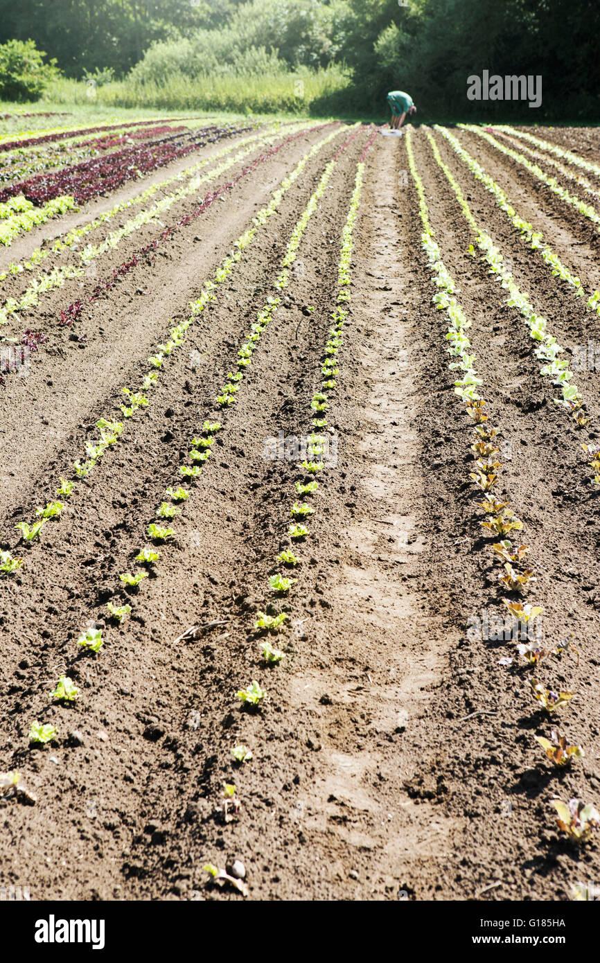 Agricultor sembrando plántulas en granja orgánica Foto de stock