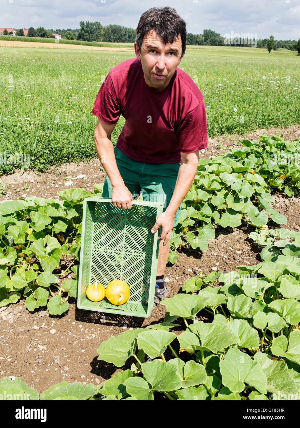 Agricultor con caja para calabazas en granja orgánica Foto de stock