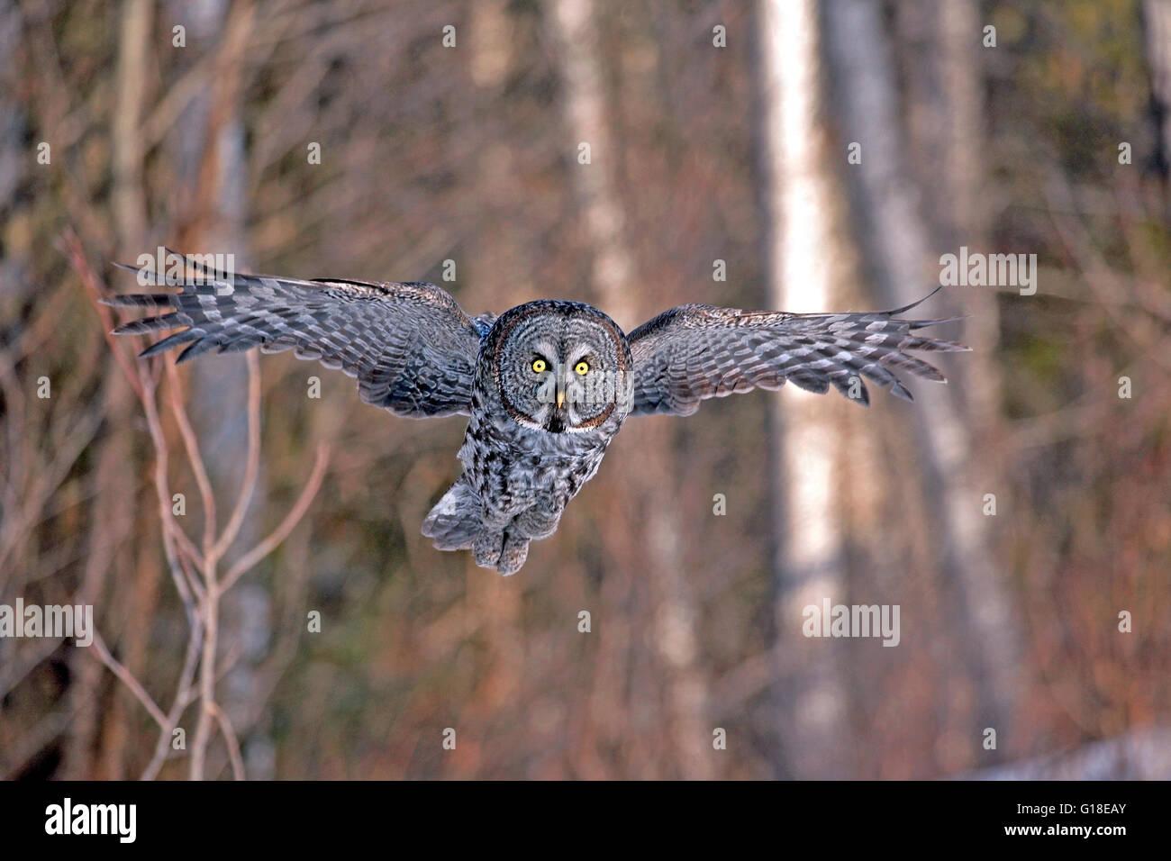 Gran Búho gris en vuelo, caza Imagen De Stock