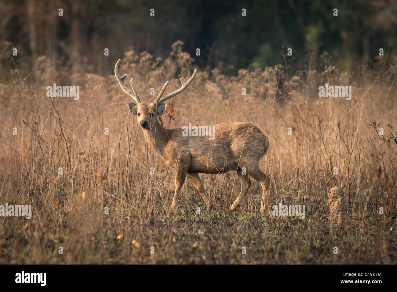 Hog Indohinese deer - Una vez extendida y relativamente abundantes, el Hog ciervos ha sufrido un dramático Imagen De Stock