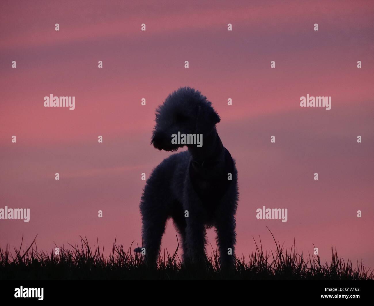 Bedlington terrier esbozadas por sunset Imagen De Stock
