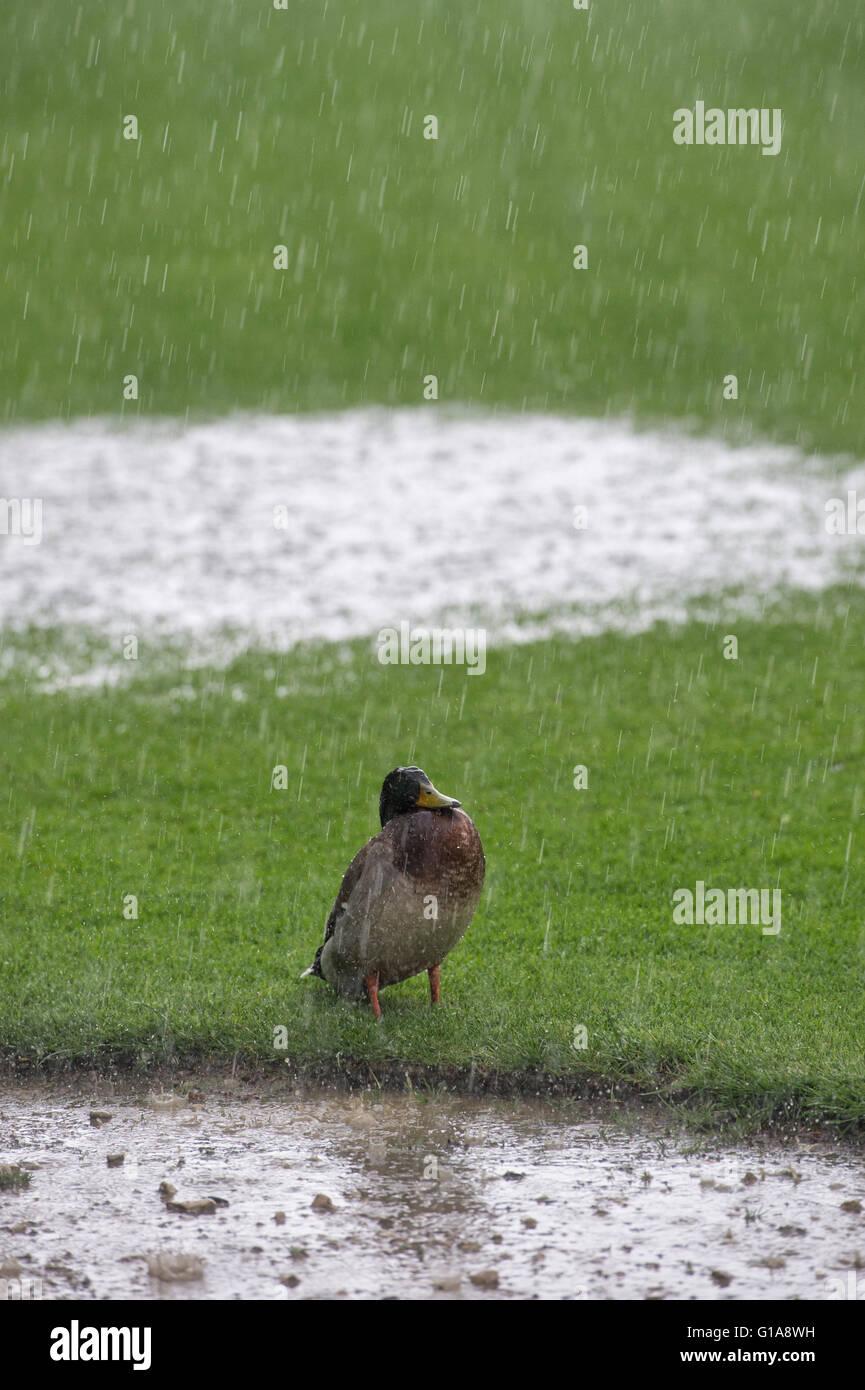 Anas platyrhynchos. Ánade real sobre un césped en lluvia torrencial Imagen De Stock
