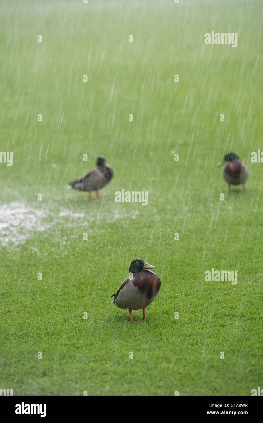 Anas platyrhynchos. Patos en un jardín bajo la lluvia torrencial Imagen De Stock