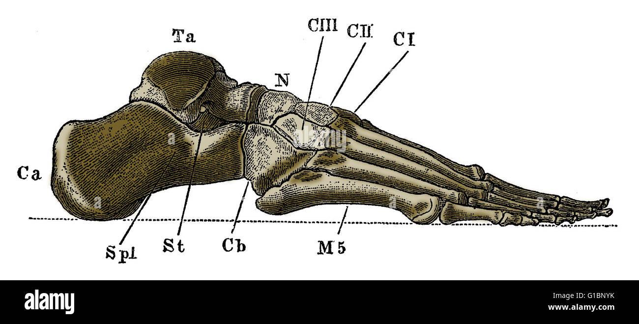 Etiquetado con la ilustración de la parte externa de los huesos de ...