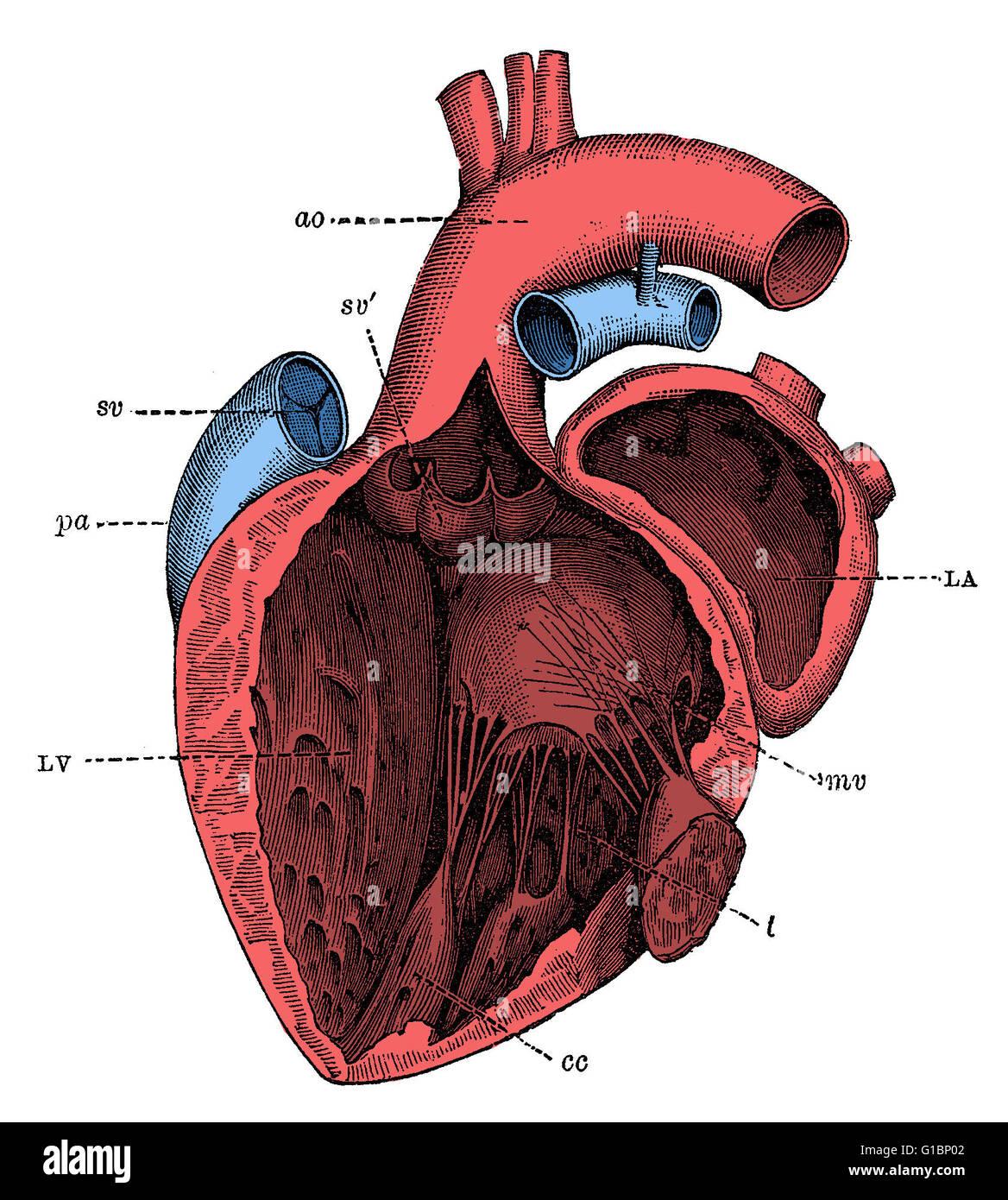 Disección del lado izquierdo del corazón de un ser humano, mostrando ...
