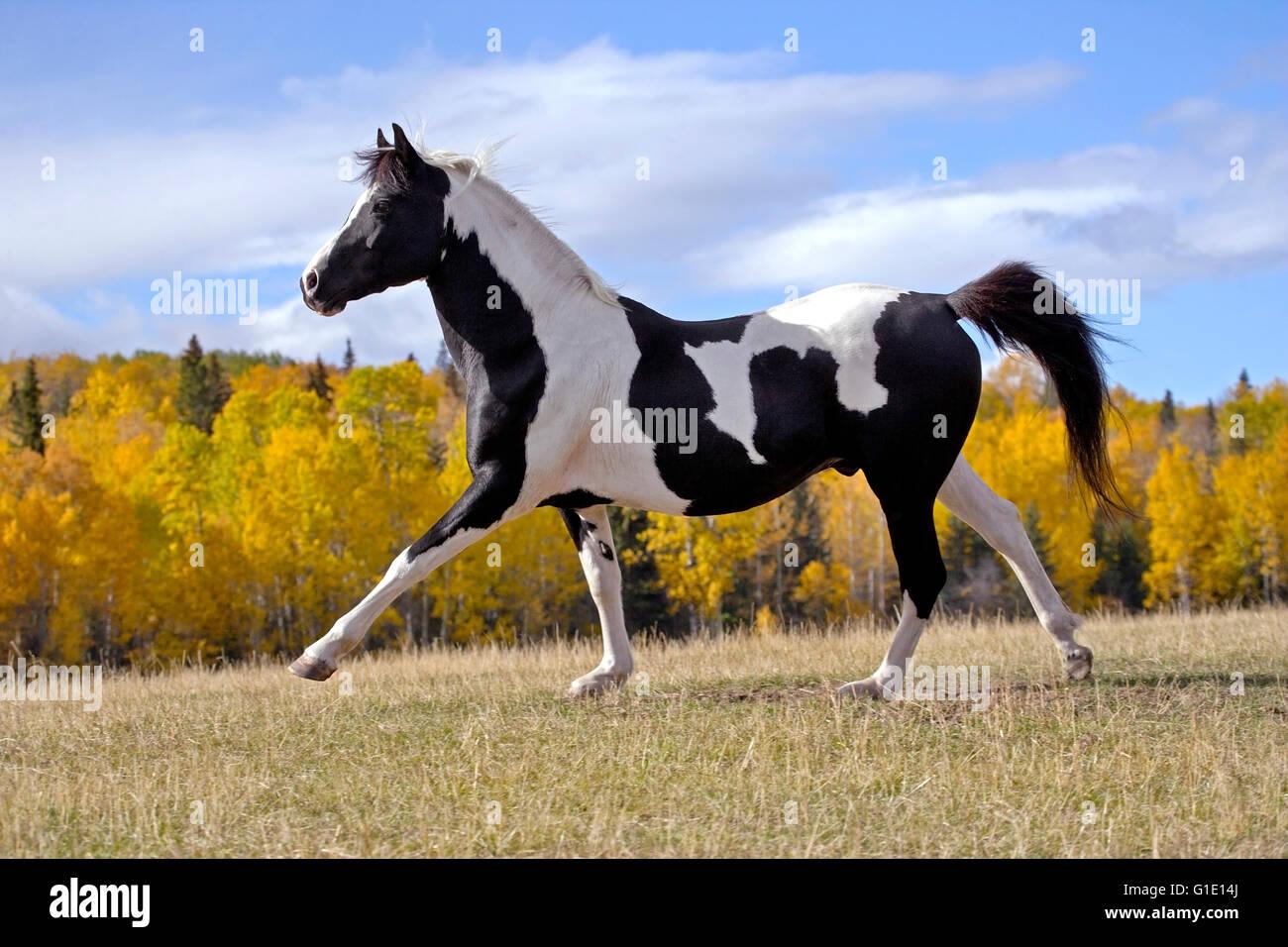 Blanco y negro semental Tobiano Pinto ejecutando en pradera con árboles en colores de otoño Foto de stock