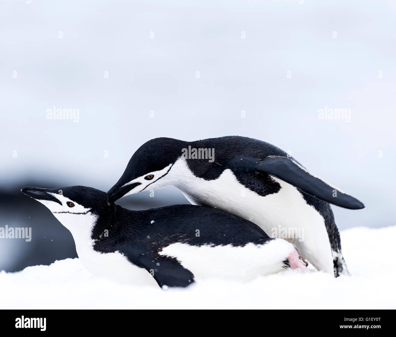 Los pingüinos de barbijo (Pygoscelis antarctica) apareamiento sobre nieve la mitad de la isla de La Luna en Imagen De Stock